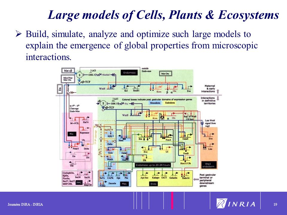 Journées INRA - INRIA19 Large models of Cells, Plants & Ecosystems Build, simulate, analyze and optimize such large models to explain the emergence of