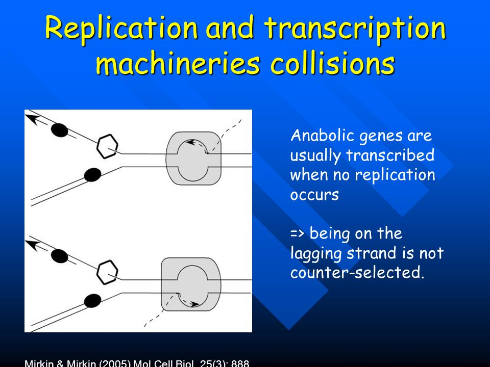 Replication and transcription machineries collisions Mirkin & Mirkin (2005) Mol Cell Biol. 25(3): 888 Anabolic genes are usually transcribed when no r
