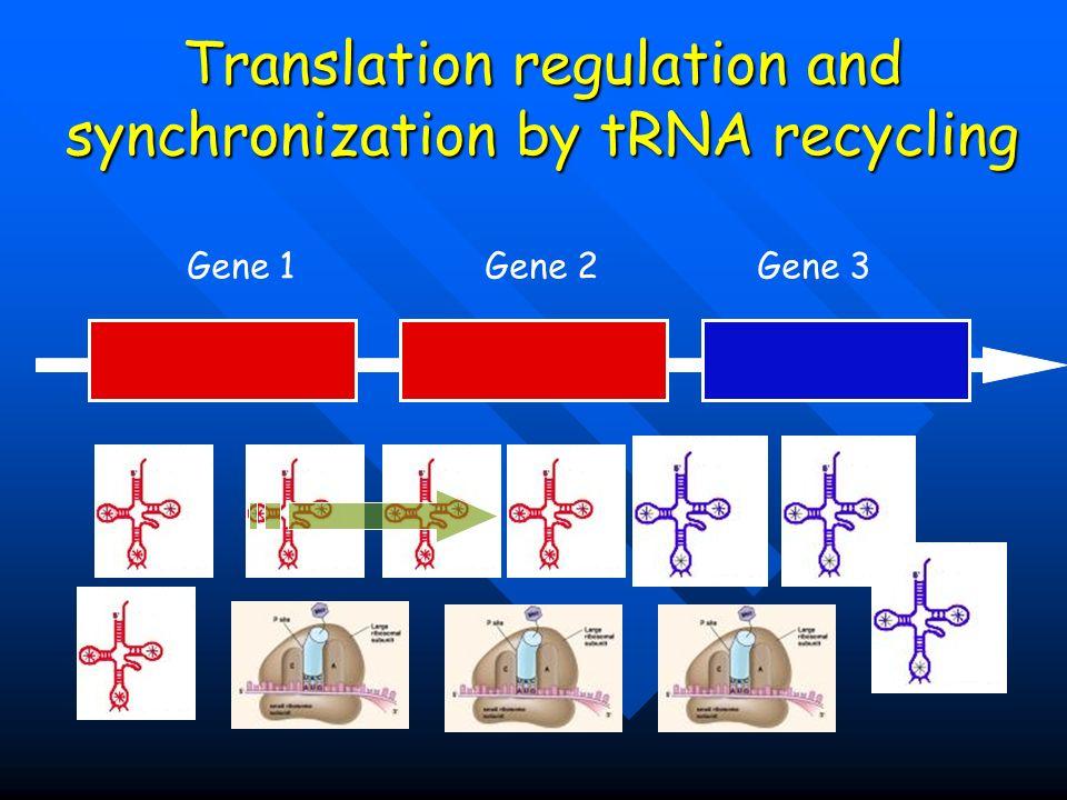 Translation regulation and synchronization by tRNA recycling Gene 1 Gene 2 Gene 3