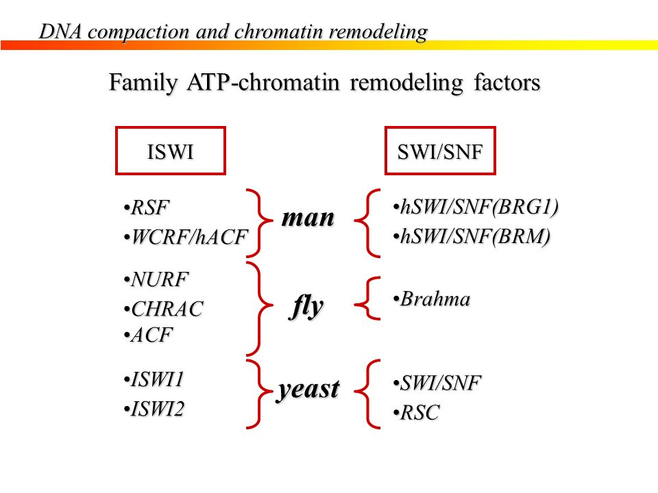 DNA compaction and chromatin remodeling Family ATP-chromatin remodeling factors SWI/SNFISWI RSFRSF WCRF/hACFWCRF/hACF NURFNURF CHRACCHRAC ACFACF ISWI1