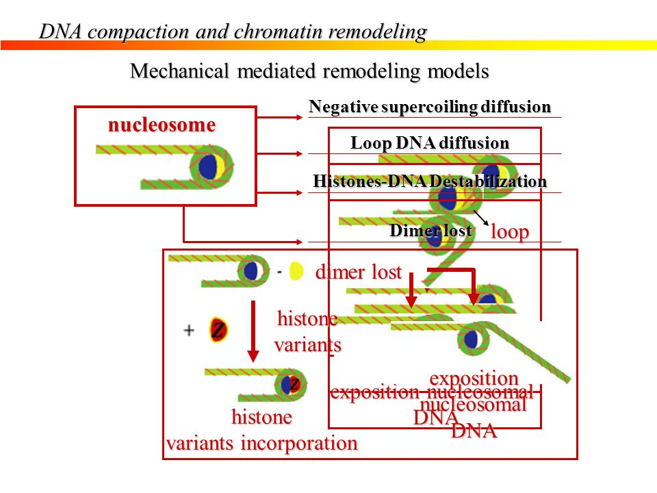 DNA compaction and chromatin remodeling Mechanical mediated remodeling models Negative supercoiling diffusion nucleosome torsion nucleosome sliding lo