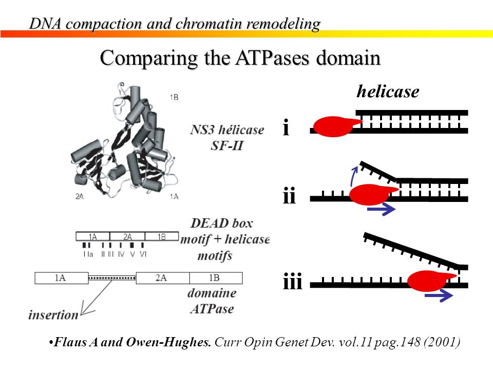 DNA compaction and chromatin remodeling Comparing the ATPases domain Flaus A and Owen-Hughes. Curr Opin Genet Dev. vol.11 pag.148 (2001) i ii iii heli