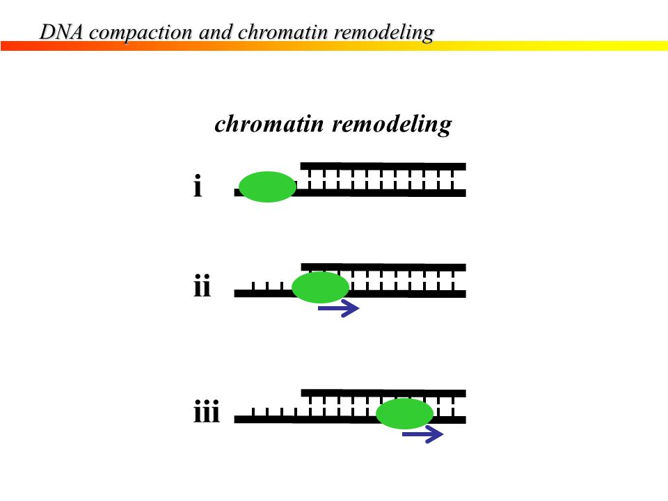DNA compaction and chromatin remodeling chromatin remodeling i ii iii