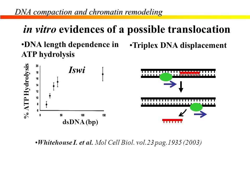 DNA compaction and chromatin remodeling dsDNA (bp) % ATP Hydrolysis Iswi Whitehouse I. et al. Mol Cell Biol. vol.23 pag.1935 (2003) in vitro evidences