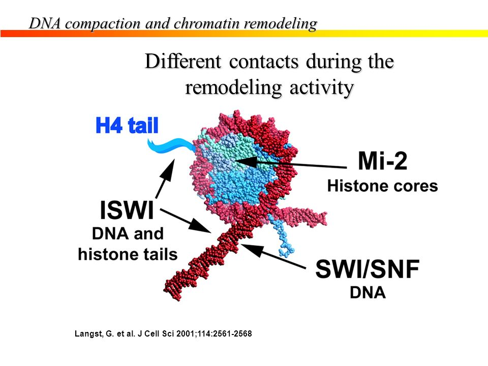 Langst, G. et al. J Cell Sci 2001;114:2561-2568 DNA compaction and chromatin remodeling Different contacts during the remodeling activity