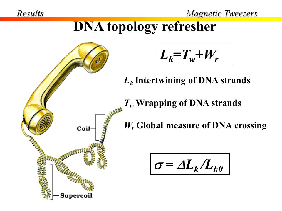 Results DNA topology refresher Force = 0.4pN Lk=Tw+WrLk=Tw+Wr L k Intertwining of DNA strands T w Wrapping of DNA strands W r Global measure of DNA cr