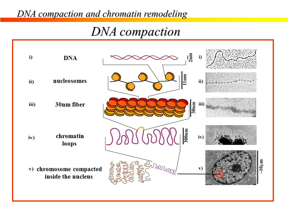 DNA compaction and chromatin remodeling DNA nucleosomes 30nm fiber chromatin loops loops chromosome compacted inside the nucleus inside the nucleus DN
