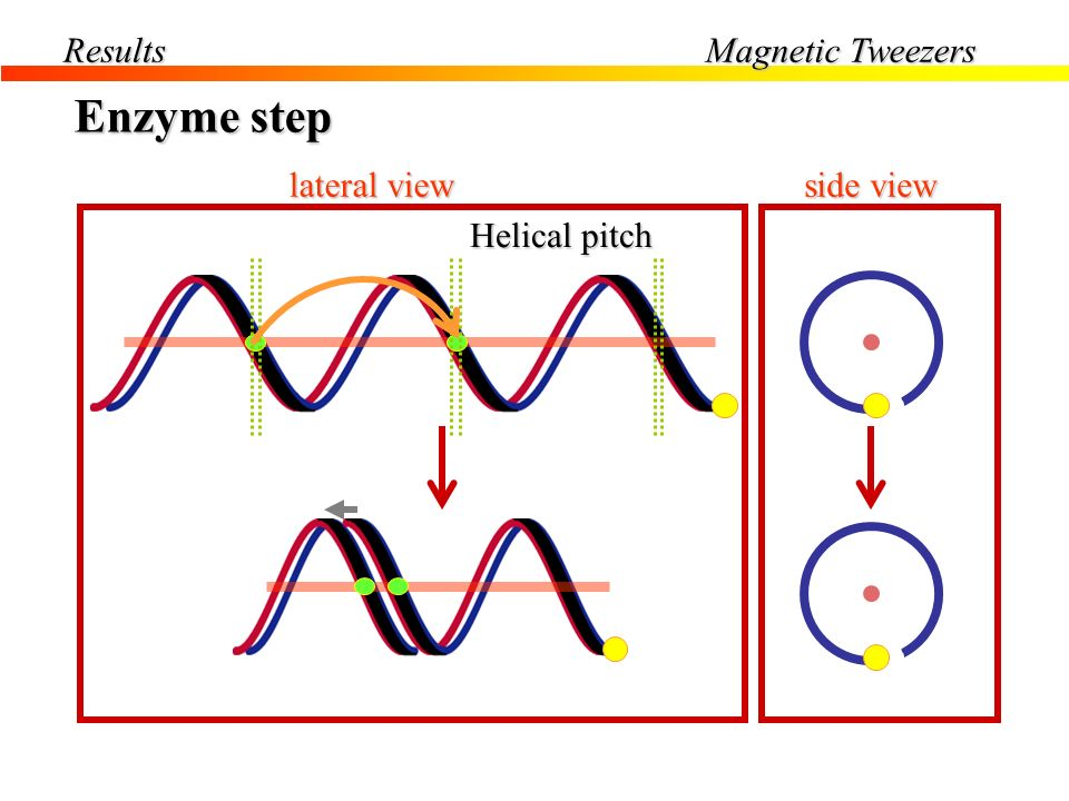 Results Magnetic Tweezers Enzyme step lateral view Helical pitch side view