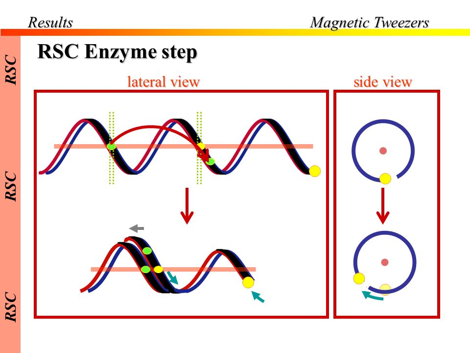 Results Magnetic Tweezers RSC Enzyme step side view lateral view RSC