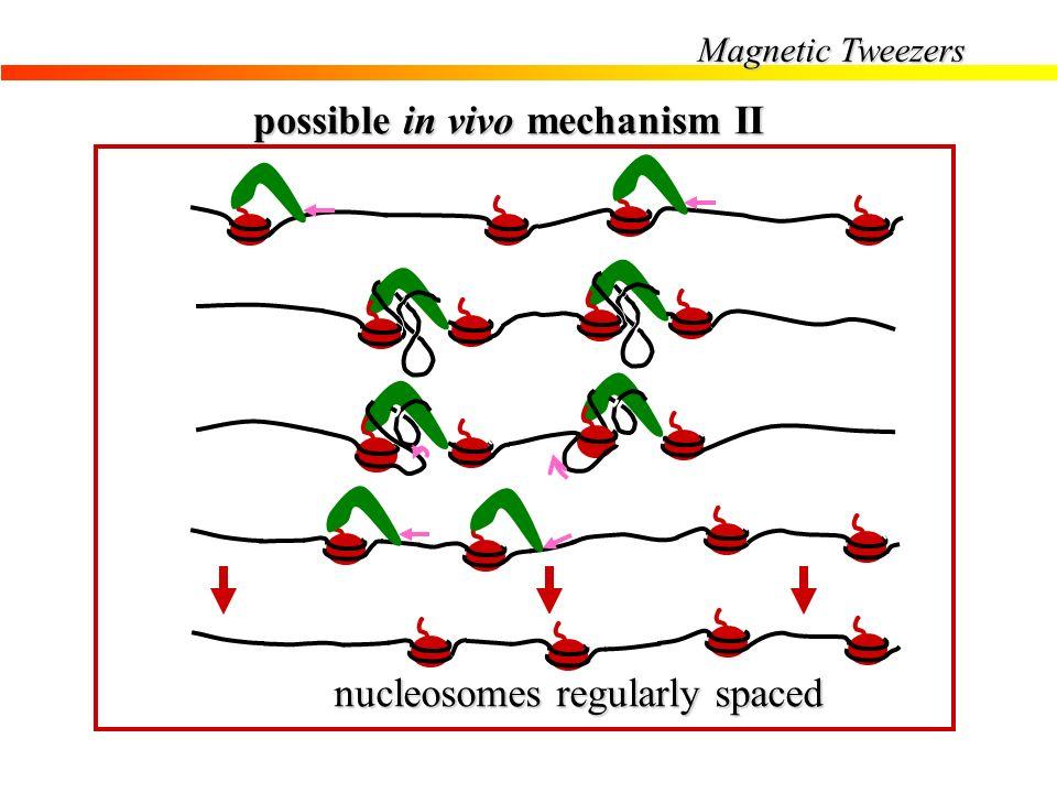 Magnetic Tweezers possible in vivo mechanism II