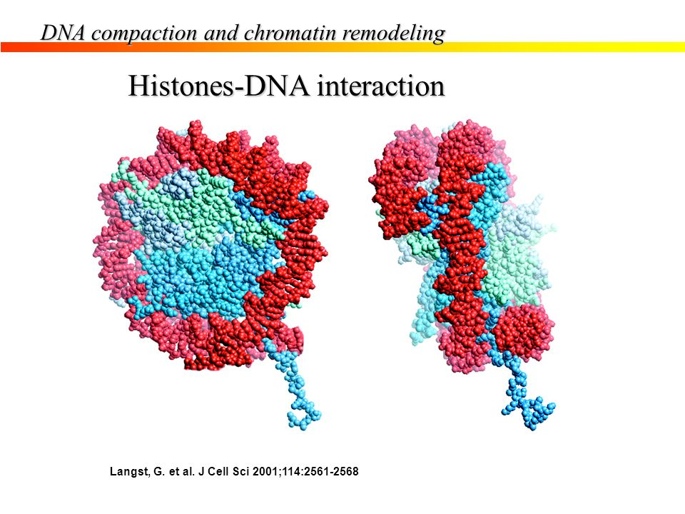 Histones-DNA interaction Langst, G. et al. J Cell Sci 2001;114:2561-2568