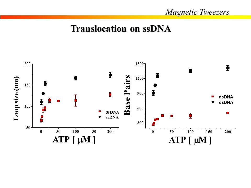 Magnetic Tweezers Translocation on ssDNA