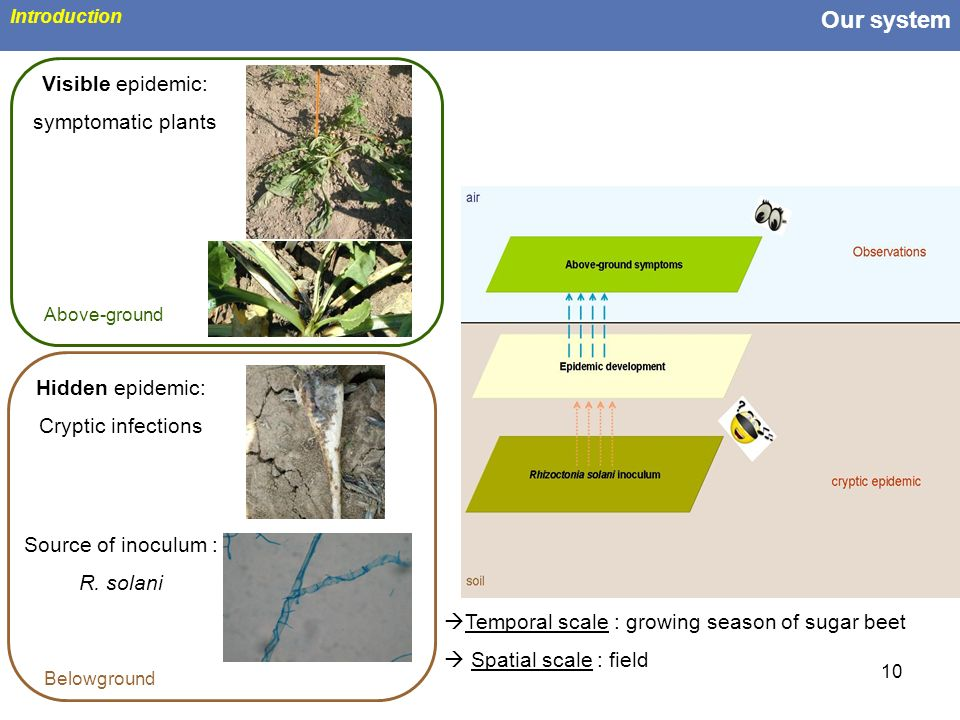 10 Our system Introduction Hidden epidemic: Cryptic infections Source of inoculum : R. solani Temporal scale : growing season of sugar beet Spatial sc