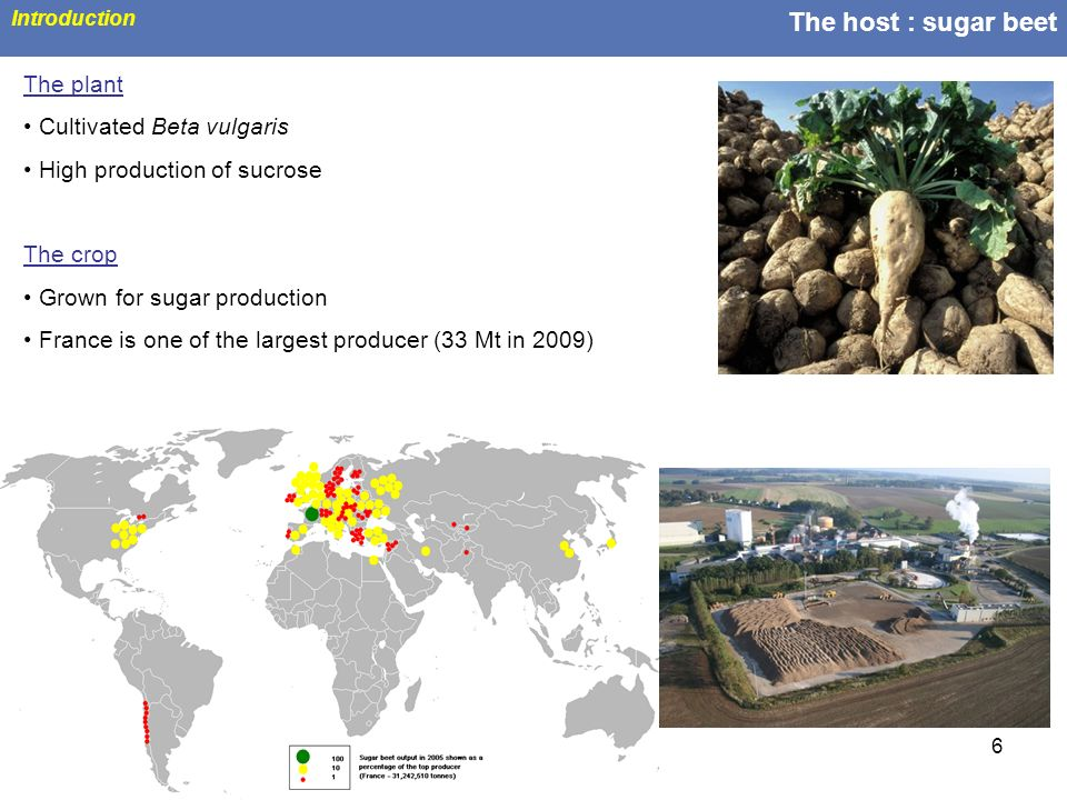 6 The host : sugar beet Introduction The plant Cultivated Beta vulgaris High production of sucrose The crop Grown for sugar production France is one o
