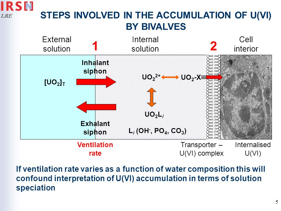 LRE 5 External solution Internal solution Cell interior STEPS INVOLVED IN THE ACCUMULATION OF U(VI) BY BIVALVES Internalised U(VI) 2 If ventilation ra
