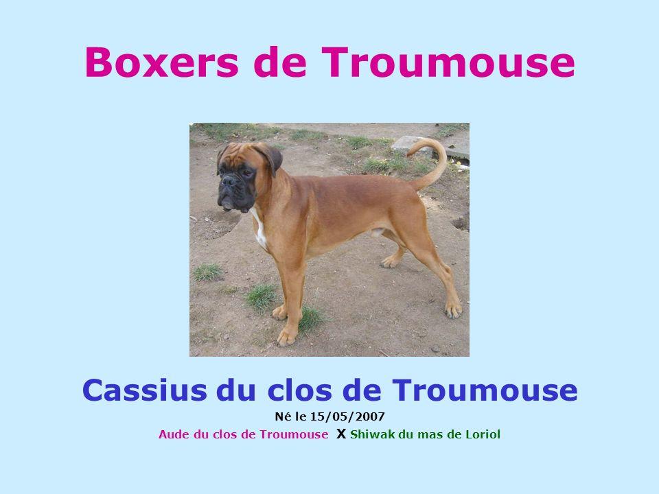 Boxers de Troumouse Cassius du clos de Troumouse Né le 15/05/2007 Aude du clos de Troumouse X Shiwak du mas de Loriol