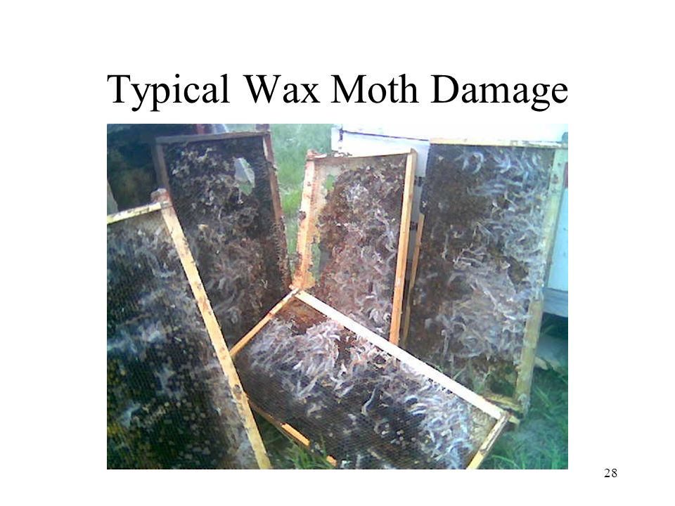 28 Typical Wax Moth Damage