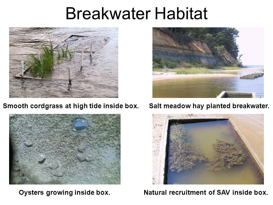 Breakwater Habitat Smooth cordgrass at high tide inside box.Salt meadow hay planted breakwater. Oysters growing inside box.Natural recruitment of SAV