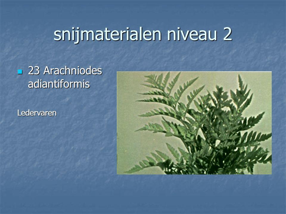 snijmaterialen niveau 2 22 Eucalypthus cinerea 22 Eucalypthus cinereaEucalypthus