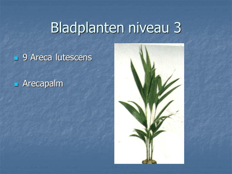 Bladplanten niveau 3 8 Araucaria heterophylla 8 Araucaria heterophylla Kamerden Kamerden