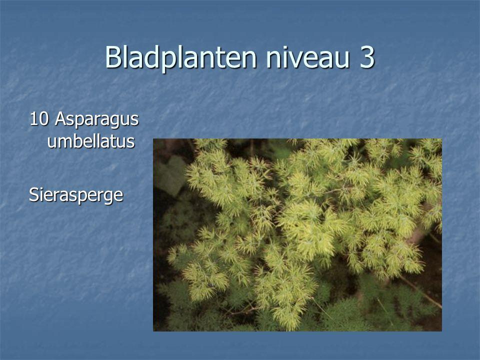Bladplanten niveau 3 9 Areca lutescens 9 Areca lutescens Arecapalm Arecapalm