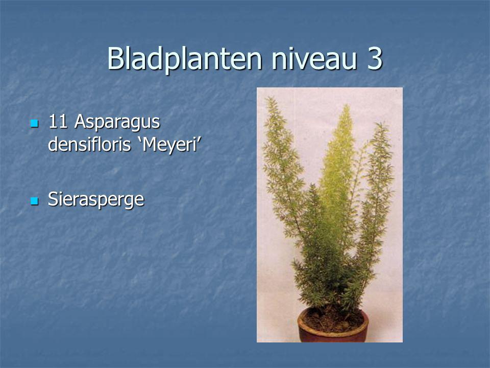 Bladplanten niveau 3 10 Asparagus umbellatus Sierasperge