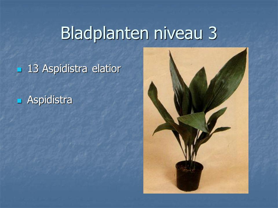 Cupressus macrocarpa 12 Asparagus falcatus 12 Asparagus falcatus Sierasperge Sierasperge