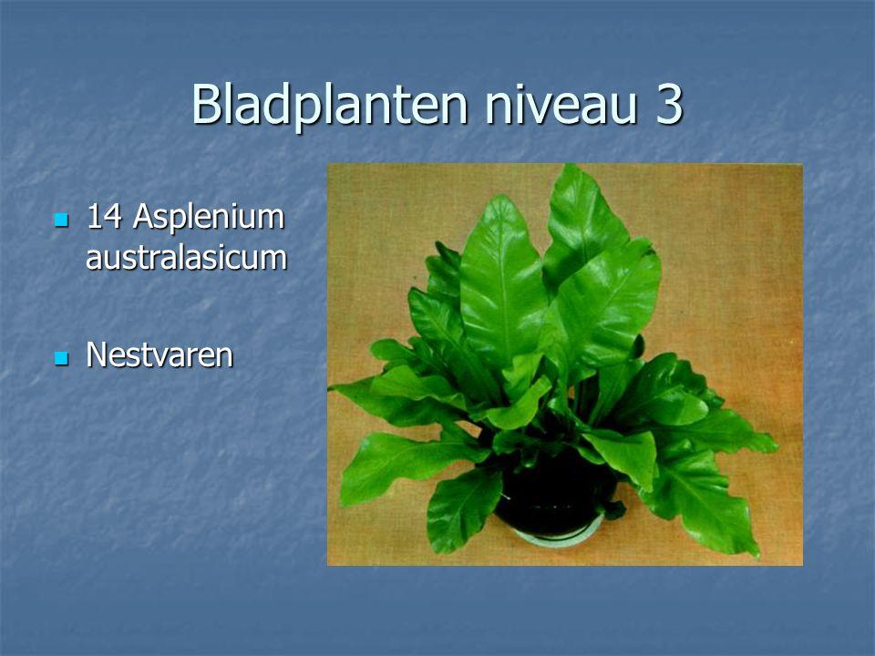 Bladplanten niveau 3 13 Aspidistra elatior 13 Aspidistra elatior Aspidistra Aspidistra