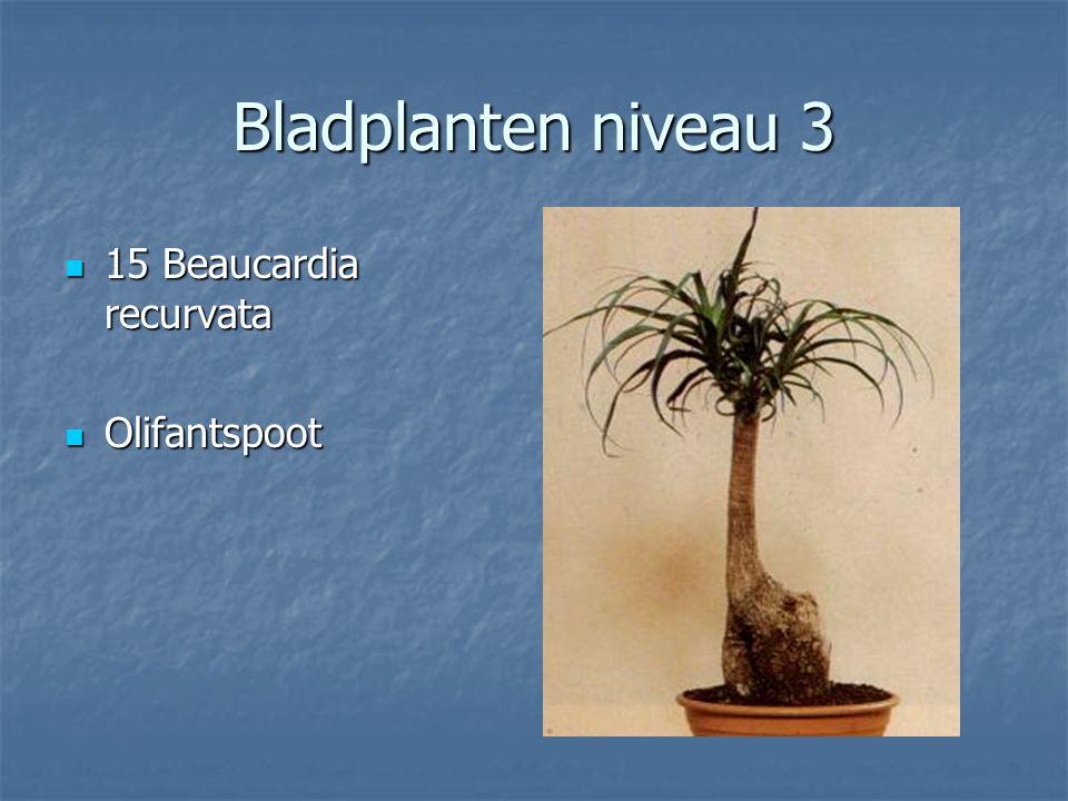 Bladplanten niveau 3 14 Asplenium australasicum 14 Asplenium australasicum Nestvaren Nestvaren
