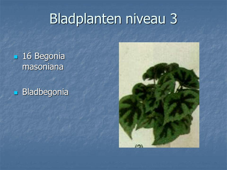 Bladplanten niveau 3 15 Beaucardia recurvata 15 Beaucardia recurvata Olifantspoot Olifantspoot