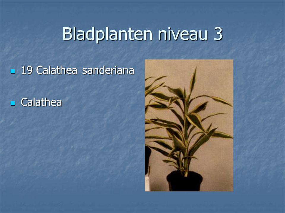 Bladplanten niveau 3 18 Calathea lancifolia 18 Calathea lancifolia Calathea Calathea
