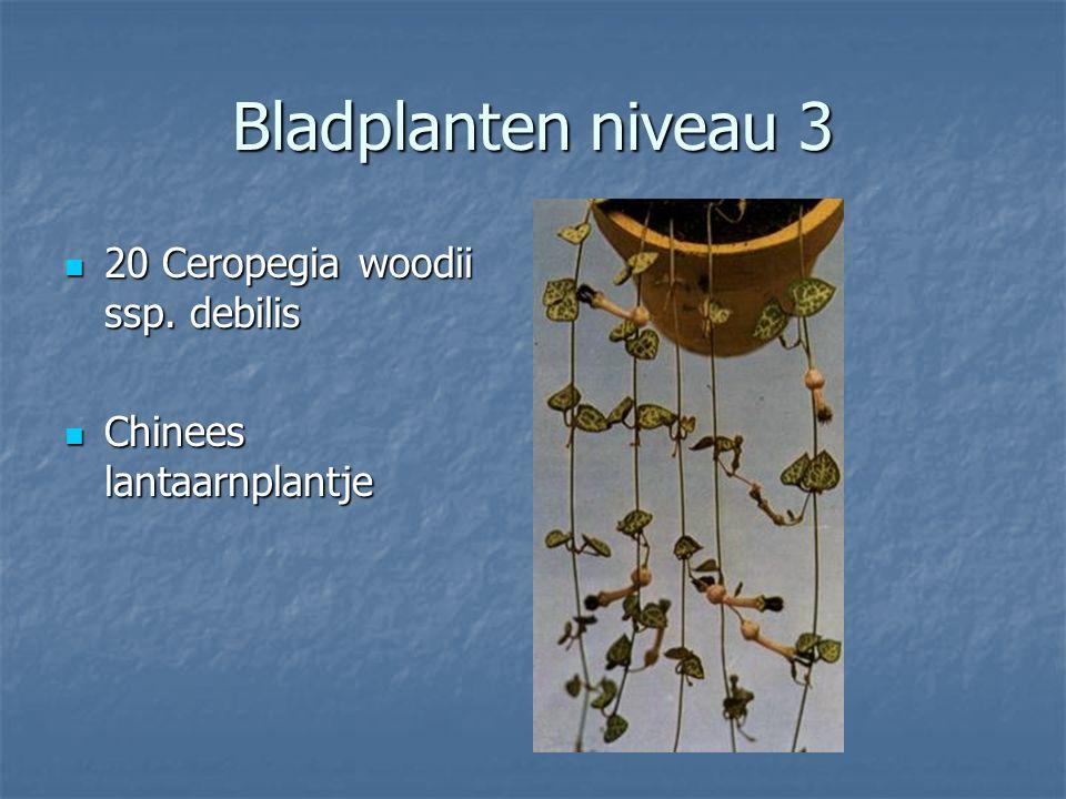 Bladplanten niveau 3 19 Calathea sanderiana 19 Calathea sanderiana Calathea Calathea