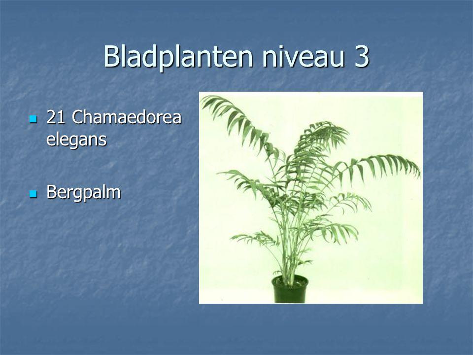 Bladplanten niveau 3 20 Ceropegia woodii ssp. debilis 20 Ceropegia woodii ssp.