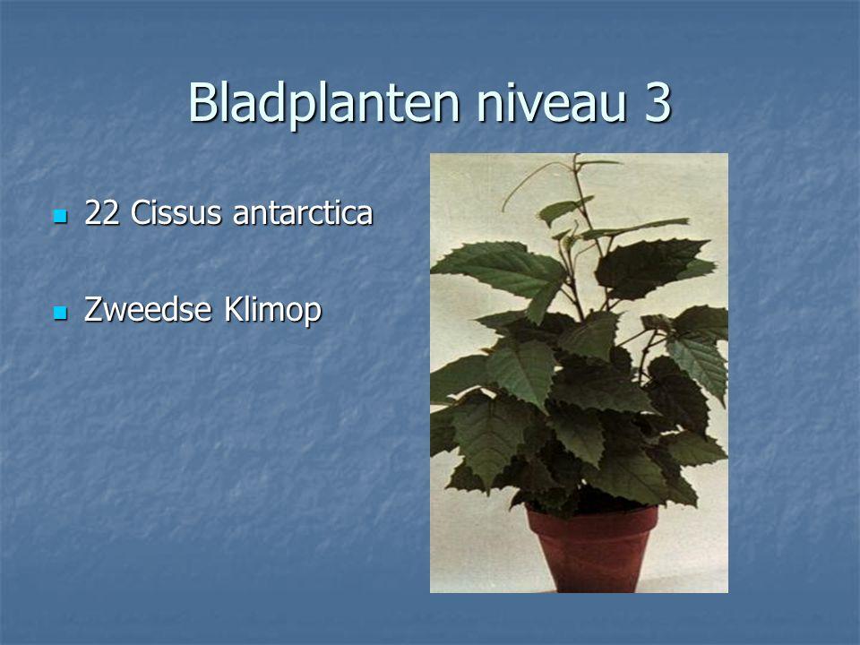 Bladplanten niveau 3 21 Chamaedorea elegans 21 Chamaedorea elegans Bergpalm Bergpalm