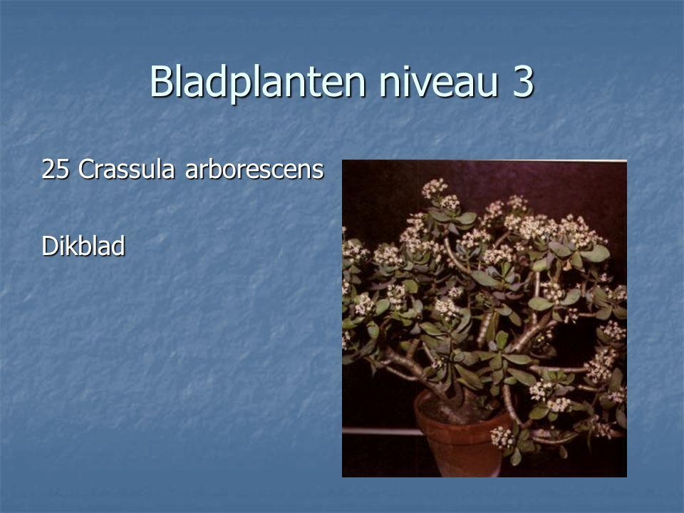 Bladplanten niveau 3 24 Cordyline fruticosa 24 Cordyline fruticosa Cordyline Cordyline