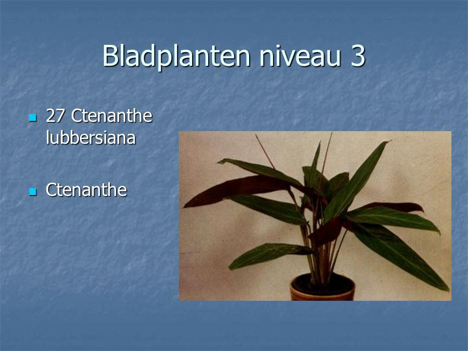 Bladplanten niveau 3 26 Cryptantus zonatus Aardster