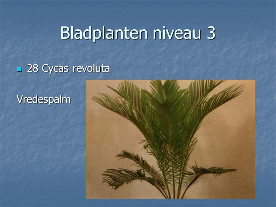 Bladplanten niveau 3 27 Ctenanthe lubbersiana 27 Ctenanthe lubbersiana Ctenanthe Ctenanthe