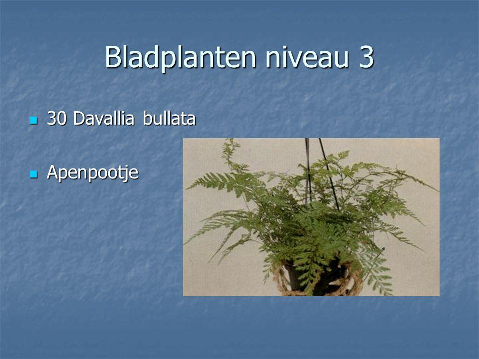 Bladplanten niveau 3 29 Cyperus alternifolius Gracilis 29 Cyperus alternifolius GracilisParapluplant