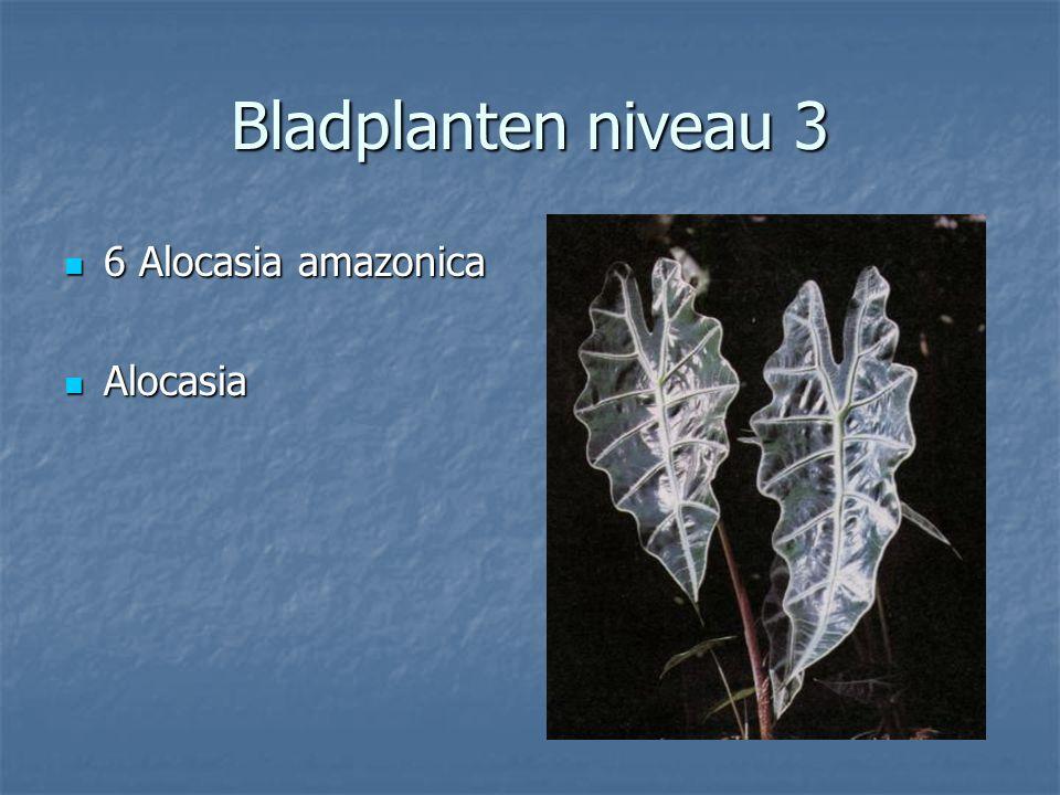 Bladplanten niveau 3 5 Aglaonema commumtatum 5 Aglaonema commumtatum Aglaonema Aglaonema