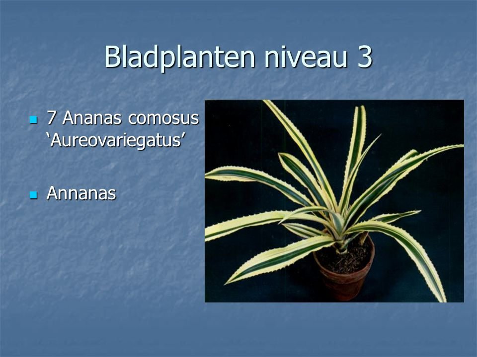 Bladplanten niveau 3 6 Alocasia amazonica 6 Alocasia amazonica Alocasia Alocasia