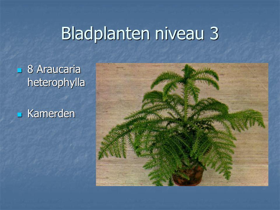 Bladplanten niveau 3 7 Ananas comosus Aureovariegatus 7 Ananas comosus Aureovariegatus Annanas Annanas