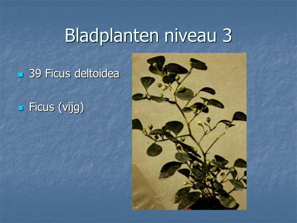 Bladplanten niveau 3 38 Fatsia japonica 38 Fatsia japonica Vingerplant Vingerplant