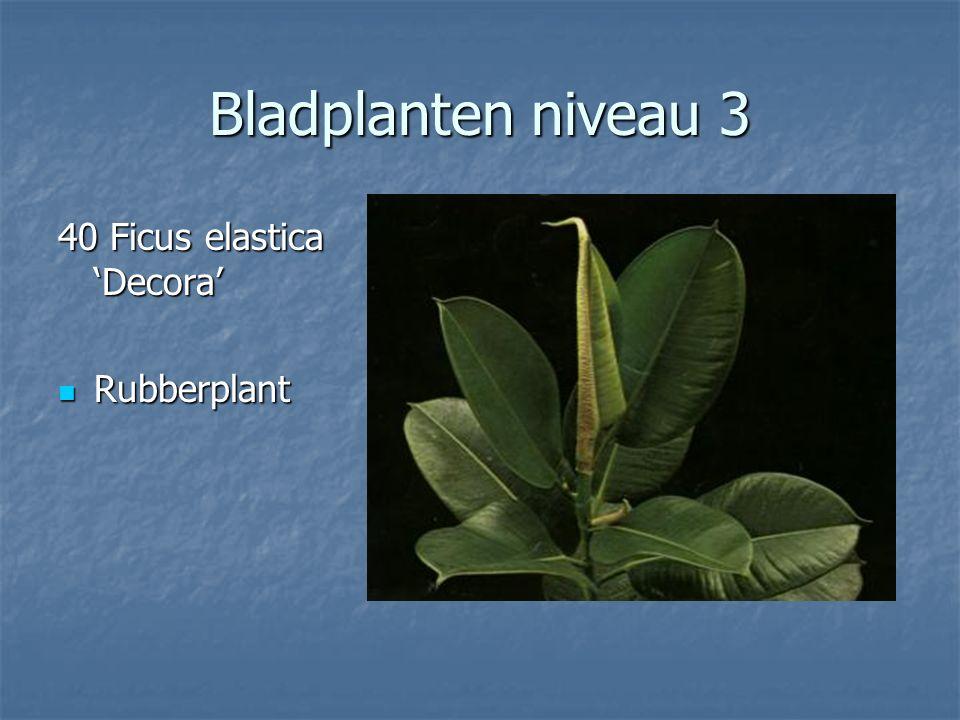 Bladplanten niveau 3 39 Ficus deltoidea 39 Ficus deltoidea Ficus (vijg) Ficus (vijg)
