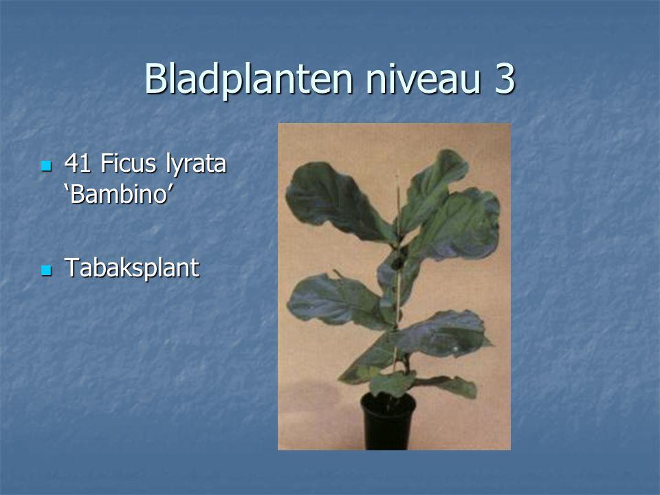 Bladplanten niveau 3 40 Ficus elastica Decora Rubberplant Rubberplant