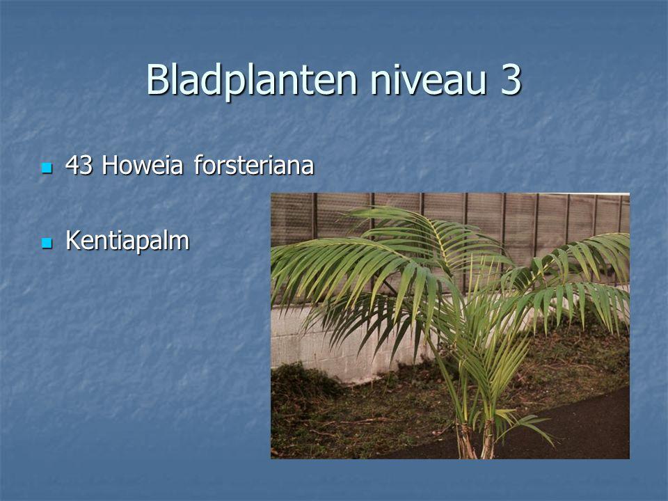 Cupressus macrocarpa 42 Fittonia verschaffeltii 42 Fittonia verschaffeltii Fittonia Fittonia