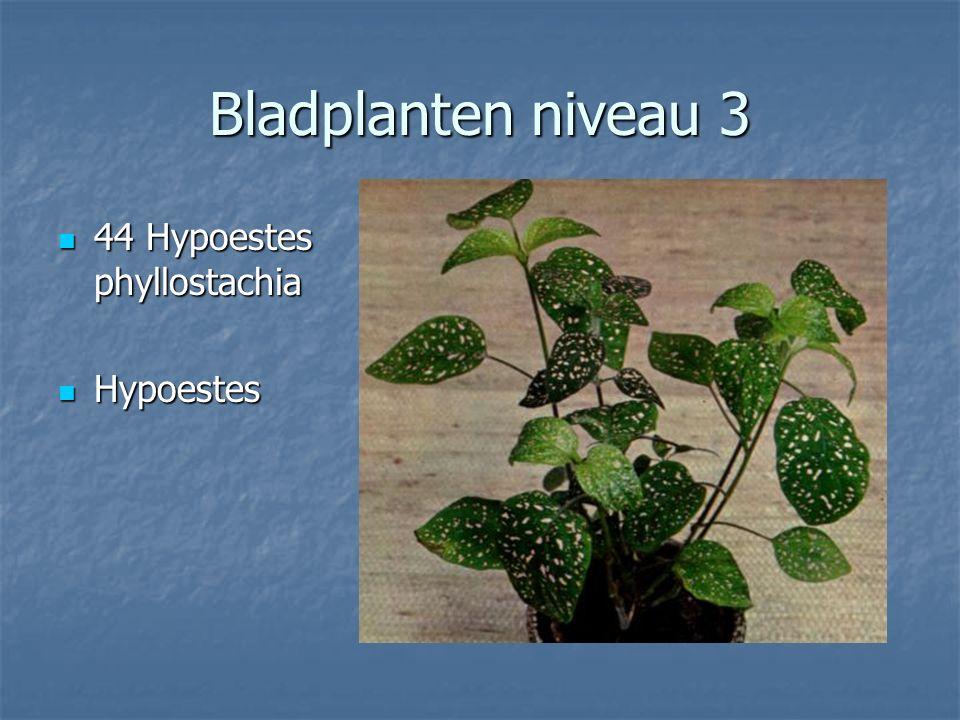 Bladplanten niveau 3 43 Howeia forsteriana 43 Howeia forsteriana Kentiapalm Kentiapalm
