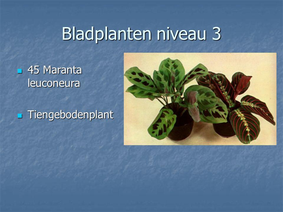 Bladplanten niveau 3 44 Hypoestes phyllostachia 44 Hypoestes phyllostachia Hypoestes Hypoestes