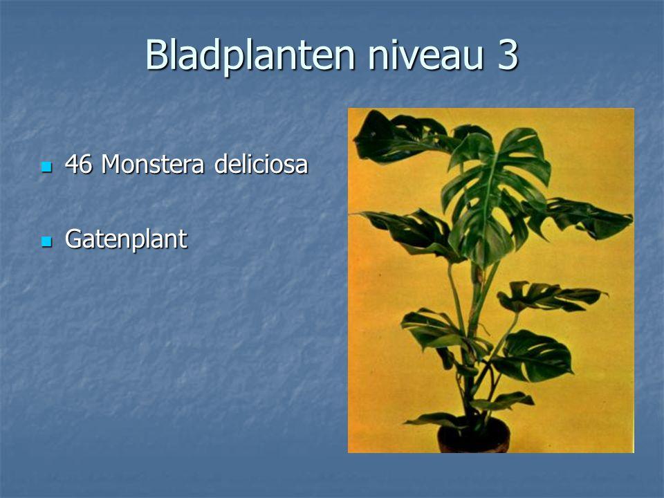 Bladplanten niveau 3 45 Maranta leuconeura 45 Maranta leuconeura Tiengebodenplant Tiengebodenplant