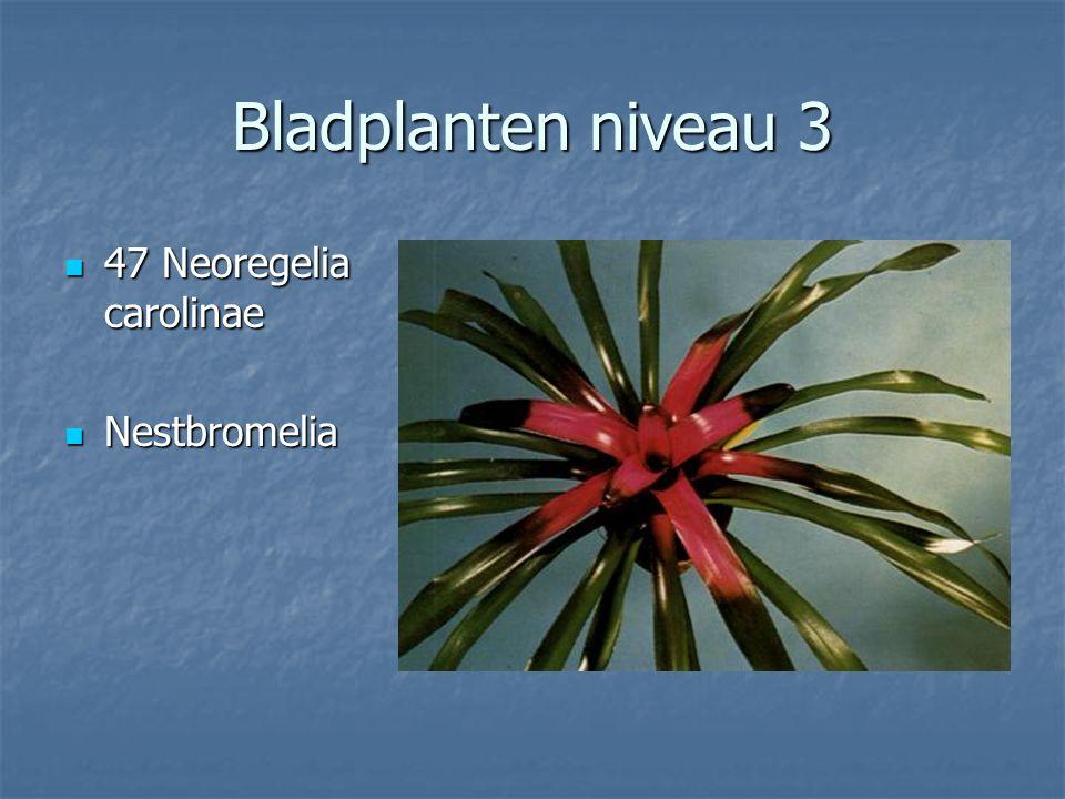 Bladplanten niveau 3 46 Monstera deliciosa 46 Monstera deliciosa Gatenplant Gatenplant