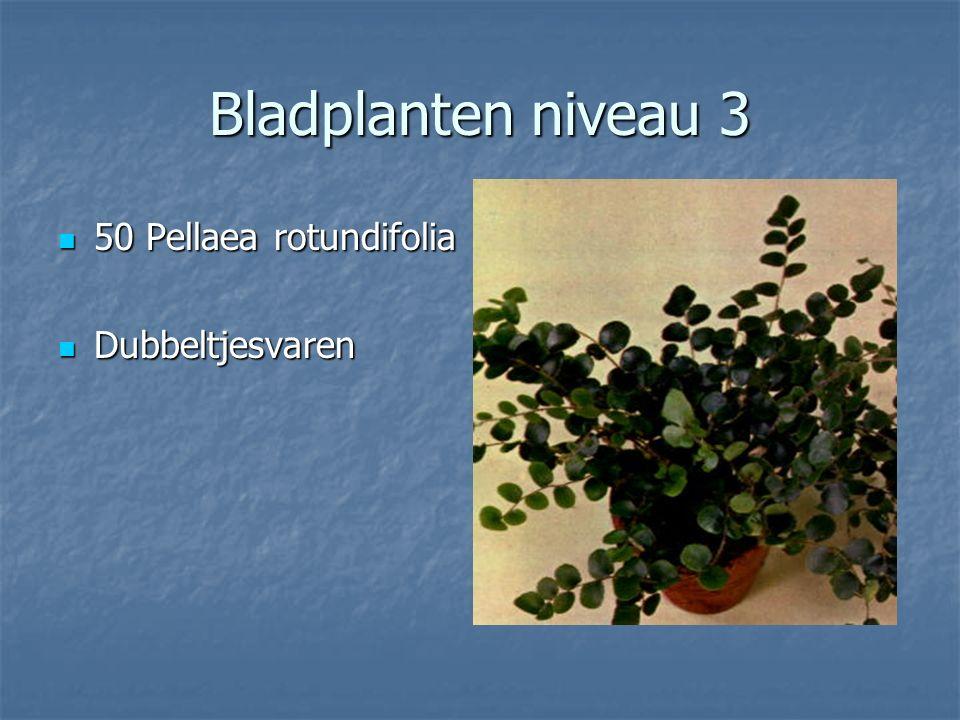 Bladplanten niveau 3 49 Nephrolepis exaltata 49 Nephrolepis exaltata Krulvaren Krulvaren